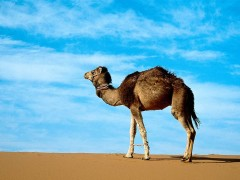 camels-444-2