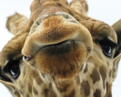 giraffe-14_image_lowres