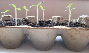 egg carton seed planter
