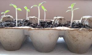 egg carton seed planter