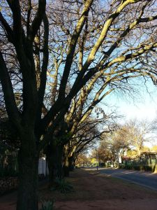 Oak trees on St Patrick Road. This could be their last Spring.